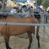 La localidad malagueña de Cártama celebra su Feria de Ganado, una de las más importantes de la comarca