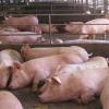 Almargen apuesta por la ganadería como eje central de su economía dentro del Plan Estratégico Comarcal en el que participa junto con otros 11 municipios de las provincias de Cádiz, Málaga y Sevilla