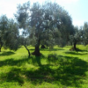 Carmona apoya al sector local de la aceituna de mesa a través del respaldo a la solicitud de la Indicación Geográfica Protegida para las variedades gordal y manzanilla