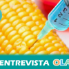 Agricultores, consumidores y ecologistas advierten de que el cultivo de maíz transgénico puede dar lugar a la aparición de supermalezas en el Estado Español