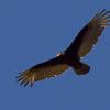 El Proyecto de Restauración de Habitats del Buitre Negro en Huelva intenta recuperar el entorno de esta ave vulnerable, perjudicado por la presencia humana