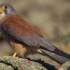 Los trabajos de recuperación del Cernícalo Primilla continúan en Aracena intensificándose con unas jornadas durante el Día Europeo de los Parques Naturales