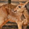 Polémica en por una caza masiva de ciervos, muflones y jabalíes en la zona afectada por el incendio de La Granada de Riotinto