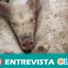 El sector ganadero de Andalucía asegura que no hay motivo de preocupación sobre los casos de peste porcina detectados en el este de Europa