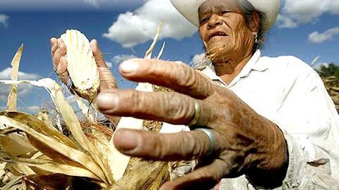 Duro golpe del Gobierno paraguayo al campesinado y a los pueblos indígenas tras permitir la introducción de cuatro variedades de maíz transgénico