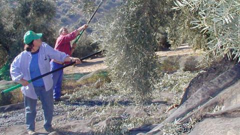 Los olivareros andaluces van a perder más del 70 por ciento de ayudas con la aplicación de la reforma de la Política Agraria Común para el periodo 2014-2020