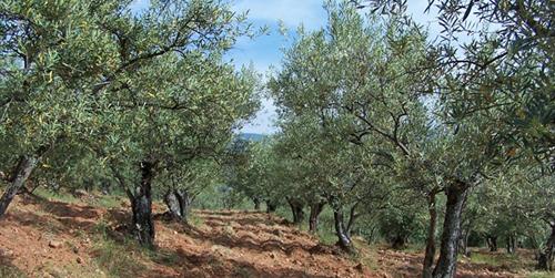 Asaja Jaén pagará 50 millones de euros a los olivareros para hacer frente a los daños provocados por la sequía y otras inclemencias meteorológicas