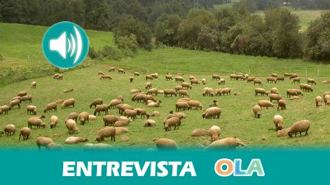 «Utilizando el pastoreo de ovejas se puede recuperar el olivar de montaña sin la necesidad de recurrir a productos químicos». Juan Antonio Torres (Investigador Univ. de Jaén)