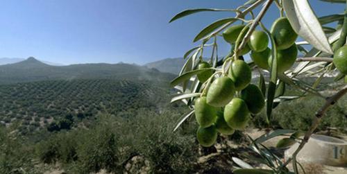 Las organizaciones agrarias denuncian que la provincia de Jaén y su olivar van a ser las más perjudicadas por los recortes de la nueva Política Agraria Comunitaria en Andalucía al perder alrededor de 50 millones de euros