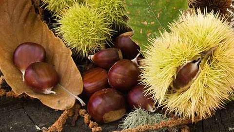 Investigar en la mejora de la productividad del castañar y la lucha contra la seca de la encina y el alcornoque son los grandes retos que se impone el Parque Natural Sierra de Aracena y Picos de Aroche para este 2014