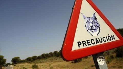 Fallece una hembra joven de lince tras ser atropellada en la carretera que une Huelva con Mazagón,segundo ejemplar de lince muerto esta semana por la misma causay el octavo en lo que va de 2014