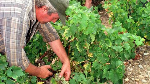 Las suaves temperaturas auguran una vendimia con uvas de gran calidad en los cultivos del Condado de Huelva