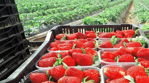Más de diez empresas freseras onubenses buscan alternativas a las producciones tradicionales de cultivo y promocionan sus productos en la Feria Internacional de Frutas y Hortalizas de Madrid