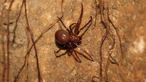 Espeleólogos del Grupo de Exploraciones Subterráneas de la localidad de Priego de Córdoba descubren una especie nueva de araña que habita en la en la Sima de la Higuera, en plena Subbética cordobesa
