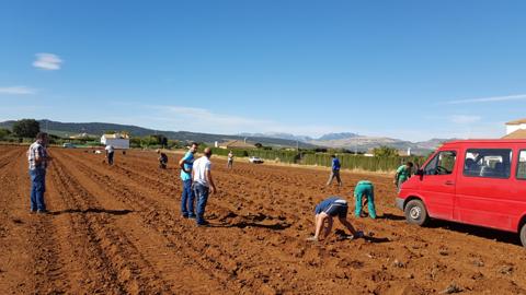 Personas desempleadas de Alcalá del Valle comienzan labores agrícolas en las plantaciones de alcachofas, dentro de un proyecto generador de empleo social promovido por el Ayuntamiento del municipio gaditano