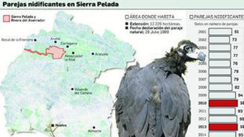 La colonia onubense de buitre negro de Sierra Pelada, localizada en Aroche, Cortegana, Rosal de la Frontera y Almonaster la Real, marca en 2015 su mejor registro en número de parejas y nidos