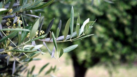 La Plaza Carlos Cano de la localidad gaditana de Trebujena dispone de una nueva zona verde formada por más de 50 especies diferentes de arbolado y matorrales, entre las que se encuentran olivos y lavanda