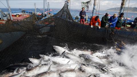 Conil de la Frontera, Barbate, Tarifa y Zahara de los Atunes dan la bienvenida a la temporada del atún rojo con diferentes actividades gastronómicas