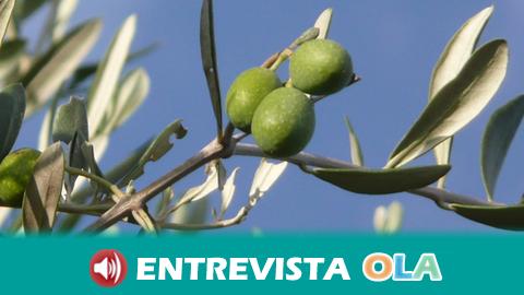 La sequía amenaza la campaña del olivar en Andalucía y afecta ya a la de verdeo