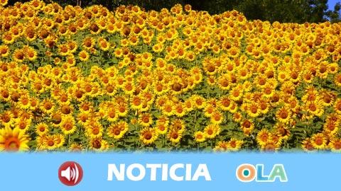Asaja Córdoba informa de que la campaña del girasol ha comenzado con precios un 30% superiores al año pasado