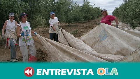Comienza la temporada de verdeo de aceituna con una previsión a la baja de hasta 50% en la producción