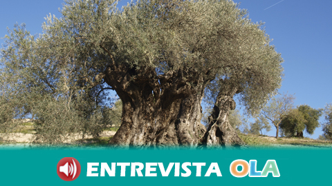 El Olivo de Arroyo Carnicero  de Casabermeja, en Málaga, es el primero en Andalucía en recibir el Premio AEMO al Mejor Olivo Monumental de España