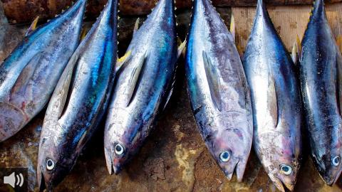 Los almadraberos de Cádiz comienzan las 'levantás' de los primeros atunes rojos de la temporada con preocupación por la crisis sanitaria