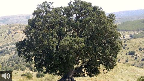 La encina milenaria de 'La Peana' se encuentra en la Sierra almeriense de los Filabres y está considerada como el árbol más grande de Andalucía