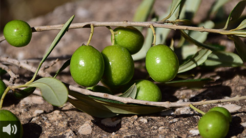 El sector de la aceituna de mesa reclama al Ministerio de Agricultura actuaciones urgentes para poner fin al conflicto con los aranceles estadounidenses