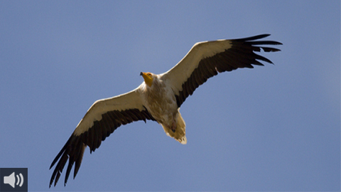 El alimoche es el protagonista del censo anual de aves planeadoras en migración postnupcial por el Estrecho de Gibraltar que impulsa el Colectivo Ornitológico Cigüeña Negra