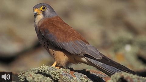 La guía ornitológica del estrecho de Gibraltar será reeditada coincidiendo con el Día Mundial de las Aves