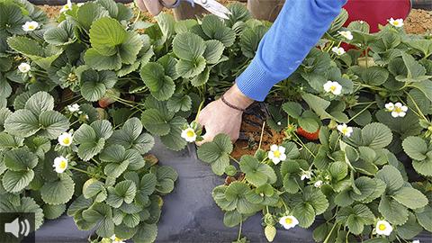 'LIFE 4DOÑANA' busca reducir un 20% el uso de agua en el cultivo de fresa de Doñana
