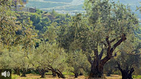 La dehesa de Los Pedroches es un extenso manto de encinas y alcornoques que cubre unas 300.000 hectáreas