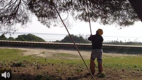 El Ayuntamiento de Almonte ha aprobado declarar el aprovechamiento de la piña como actividad tradicional de interés general para el municipio