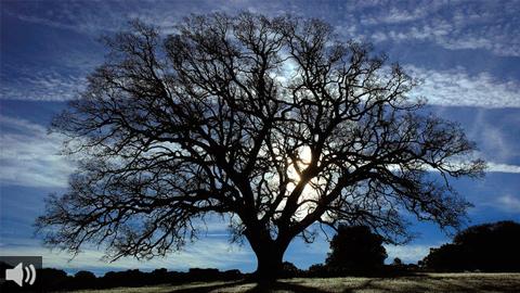 El quejigo de Júrtiga de Alhama de Granada está considerado como el árbol más longevo de provincia y de los más viejos de España