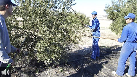 El sector del aceite de oliva rechaza la decisión de no revisar los aranceles estadounidenses y la cataloga como un fracaso de la diplomacia europea y española