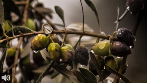 'Andalucía, de Este a Oeste' nos lleva esta semana a conocer más sobre el oro líquido jiennense y el paisaje del olivar andaluz