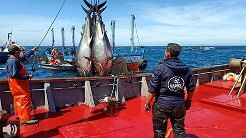'Las campañas almadraberas duran medio año porque son dos meses de calamento, dos de pesca del atún rojo y otros dos de retirada', Marta Crespo, Organización de Productores Pesqueros de Almadrabas