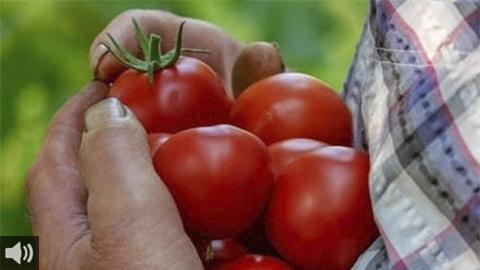 Andalucía produce el Tomate Amela gracias al trabajo de la Cooperativa Granada La Palma, que lo produce en Carchuna, en la costa tropical granadina