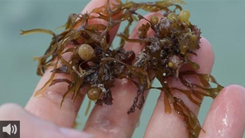 El documental 'El Sufrimiento de los Pescadores Andaluces' recoge la problemática que tienen los pescadores de la costa andaluza ante la aparición del alga invasora