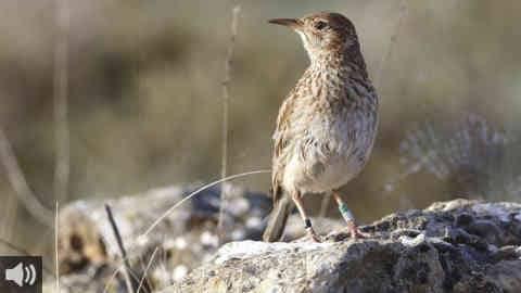 El Defensor del Pueblo Andaluz apoya a SEO/Birdlife y a la PCAEH y pide a la Junta de Andalucía que proteja el hábitat de las aves esteparias