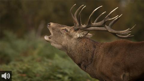 La berrea del ciervo en Doñana, un espectáculo natural que da la bienvenida al otoño