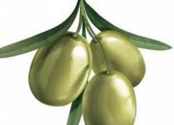 El aceite de oliva vive una cosecha récord