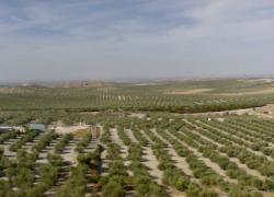 La cosecha de aceite de oliva puede quedarse en un 70% por las altas temperaturas