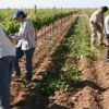 Aumentan los jornaleros que no llegarán a reunir las 35 jornadas para optar al subsidio agrario por la bajada de cosechas, según UGT