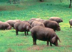 Los productores de la dehesa del cerdo ibérico exigen a la Junta de Andalucía que defienda sus intereses ante la nueva norma de calidad que prepara el Ministerio