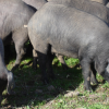 El Ministerio de Agricultura, Alimentación y Medio Ambiente presenta el texto definitivo de la norma de calidad del porcino ibérico