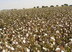 COAG Andalucía exige al Gobierno que apueste por la calidad del algodón y no por intereses de empresas de fitosanitarios