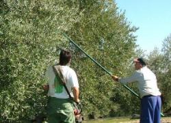 Hoy lunes comienza la campaña de verdeo de la aceituna de mesa en la provincia de Málaga con una producción prevista de 60 millones de kilos de aceitunas