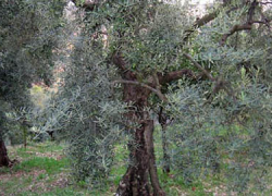 Comienza en Doña Mencía la campaña de recogida de la aceituna de los aceites de oliva vírgen en la que se estima un 40% menos de producción que el año pasado